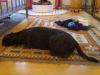 Riesenschnauzer Saita beim Faulenzen - Katzenbetreuung Wien