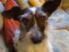 Jack Russel Terrier Mix/Winni - Katzenbetreuung Wien