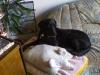 Retriever Labrador Lea beim Koketieren - Katzenbetreuung Wien