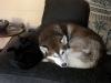 Hauskatze Naomi und Eskimo Dog Maruk