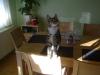 Felis Catus Baby - Cat on the Table - Baby Cat Sitter Stieglecker Vienna Austria