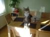 Baby Cat - Babycat on the Table - Baby Catsitting Stieglecker Vienna Austria