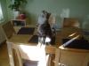 Katzenjunges - Junge Katze am Tisch - Jungkatzen Vor Ort Betreuung Stieglecker Wien österreich