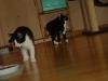 Katzenbetreuung Wien -  Kitten / Genetische Veranlagungen tragen auch zur Ausbildung unterschiedlicher Verhaltensstile und Charaktereigenschaften von Rassekatzen bei und auch zur unterschiedlichen Zutraulichkeit von Haus- inklusive Rassekatzen gegenüber Menschen.