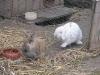 Kleintier Betreuung - Kaninchen Marie/Braun mit Stehöhrchen und Felix/Weiss mit Hängeöhrchen