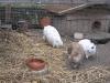 Kleintier Betreuung - Kaninchendame Marie, Kaninchendame Emilie, Kaninchenbub Felix