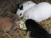 Kleintier Betreuung - Kaninchen beim Hasenmahl