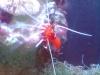 Tierfotogalerie Stieglecker - Meerwasser Garnelen - Als Garnelen werden unterschiedliche Arten in der Bodenzone lebender oder freischwimmender Krebstiere bezeichnet.