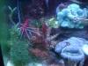 Tierfotogalerie Stieglecker - Meerwasser Garnelen - Garnelen machen sich im Aquarium nützlich, indem sie störende Algen vertilgen.