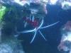 Tierfotogalerie Stieglecker - Meerwasser Garnelen - Je nach Art erreichen Garnelen Körperlängen zwischen fünf und dreißig Zentimetern.