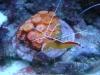 Tierfotogalerie Stieglecker - Meerwasser Garnelen - Die Fortpflanzung ist meist an festgelegte Jahreszeiten gebunden und erfolgt bei vielen Arten während der Nacht.